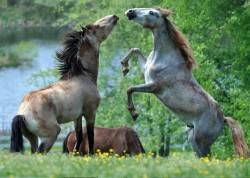 Two year old colts at play