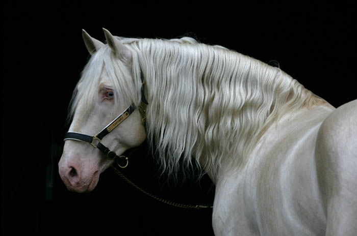 Image result for cream andalusian